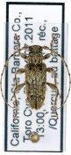 Lophopogonius crinitus, ♂, Pogonocherini, West United States