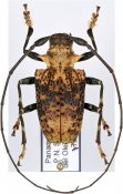 Polyrhaphis batesi, ♂, Polyrhaphidini, Panama