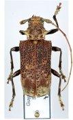 Polyrhaphis gracilis, ♀, Polyrhaphidini, French Guiana