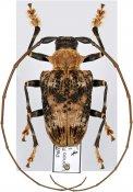 Polyrhaphis peruana, ♂, Polyrhaphidini, Peru