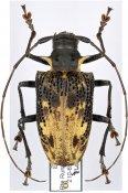 Polyrhaphis pilosa ♀, Polyrhaphidini, Bolivia