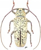 Prosopocera aemilii, ♀, Prosopocerini, Gabon