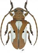 Prosopocera alboplagiata, ♀, Prosopocerini, Ivory Coast