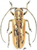 Prosopocera aristocratica, ♀, Prosopocerini, Gabon