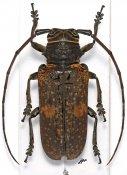 Prosopocera fryi, ♀, Prosopocerini, Cameroon