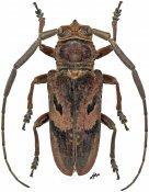 Prosopocera gassneri, ♂, Prosopocerini, Gabon