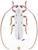 Prosopocera gracilis, ♂, Prosopocerini, Malawi