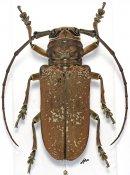 Prosopocera griseomaculata, ♀, Prosopocerini, Togo
