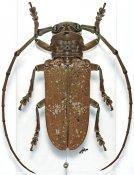 Prosopocera griseomaculata, ♂, Prosopocerini, Togo
