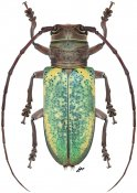 Prosopocera itzingeri, ♀, Prosopocerini, Gabon