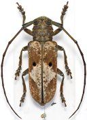 Prosopocera myops, ♂, Prosopocerini, Togo
