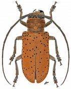 Prosopocera rothschildi rothschildi, ♀, Prosopocerini, Gabon