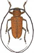 Prosopocera rothschildi rothschildi, ♂, Prosopocerini, Gabon