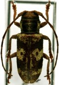 Bangalaia ocellata, ♀, Prosopocerini, Cameroon