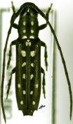 Proctocera scalaris, ♀, Proctocerini, Ivory Coast