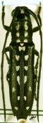 Proctocera scalaris, ♀, Proctocerini, Central Africa R.