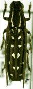 Proctocera senegalensis, ♀, Proctocerini, Sierra Leone