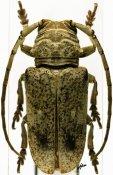 Prosopocera antennata antennata, ♀, Prosopocerini, Benin