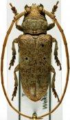 Prosopocera antennata antennata, ♂, Prosopocerini, Tanzania