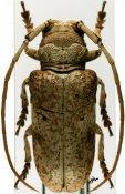 Prosopocera antennata antennata, ♀, Prosopocerini, Tanzania