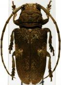 Prosopocera antennata quadripunctata ♀, Prosopocerini, Nigeria