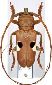 Prosopocera bipunctata bipunctata ♂, Prosopocerini, Ivory Coast