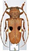 Prosopocera bipunctata bipunctata, ♀, Prosopocerini, Ivory Coast