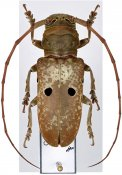 Prosopocera bipunctata bioculata ♀, Prosopocerini, Cameroon