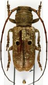 Prosopocera bipunctata bioculata ♀, Prosopocerini, R. P. Congo