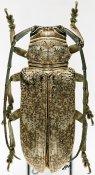 Prosopocera fatidica, ♀, Prosopocerini, Ivory Coast