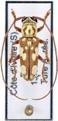 Prosopocera flavosignata, ♂, Prosopocerini, Ivory Coast