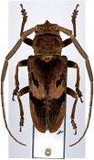 Prosopocera gassneri ♂, Prosopocerini, Gabon
