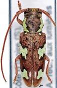 Prosopocera imitans, ♀, Prosopocerini, Ivory Coast