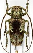 Prosopocera insignis ♀, Prosopocerini, Cameroon