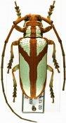 Prosopocera lactator meridionalis, ♂, Prosopocerini, Zimbabwe