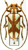Prosopocera lactator meridionalis, ♂, Prosopocerini, South Africa