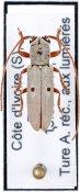 Prosopocera lockleyi, ♀, Prosopocerini, Ivory Coast