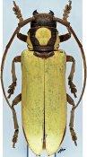 Prosopocera lucia ♀, Prosopocerini, R. P. Congo