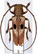 Prosopocera myops ♂, Prosopocerini, Cameroon