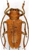 Prosopocera rothschildi rothschildi, ♀, Prosopocerini, Togo