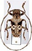 Prosopocera schoutedeni, ♂, Prosopocerini, Cameroon
