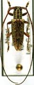 Prosopocera sofala, ♂, Prosopocerini, South Africa