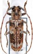 Prosopocera splendida, ♂, Prosopocerini, Cameroon