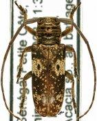 Prosopocera trosseveni, ♀, Prosopocerini, Senegal