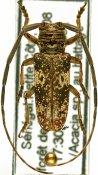 Prosopocera trosseveni, ♂, Prosopocerini, Senegal