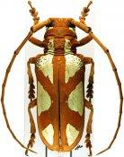 Prosopocera lactator lactator, ♀, Prosopocerini, Tanzania