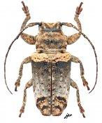 Abryna copei, ♀, Pteropliini, Luzon