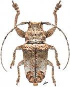 Abryna copei, ♂, Pteropliini, Luzon