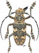 Abryna regispetri, ♂, Pteropliini, Thailand