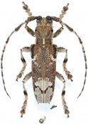 Baraeus aurisecator, ♂, Pteropliini, Gabon